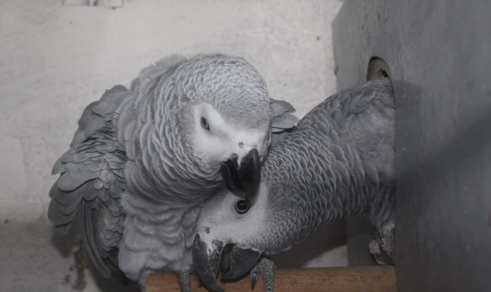 Купить Попугаи