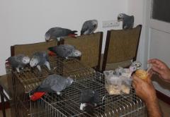 Жако птенцы-выкормыши